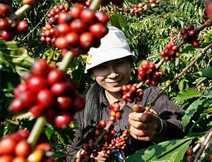Vietnam Leads Global Coffee Production Despite Lower 2015 Harvests